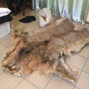 Buy Lion Skin Online
