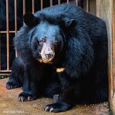 Buy Bear Bile Online, Bear Bile for sale online, Where to Buy Bear Bile online, Order Bear Bile online