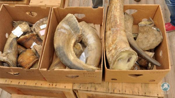 Buy Rhino Horn Online